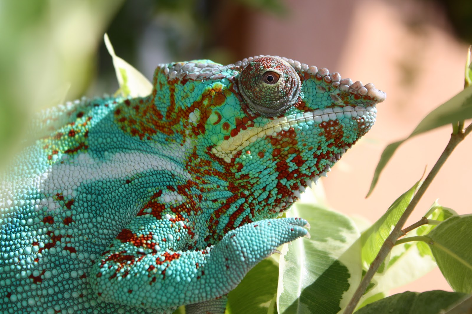 Average Cost Of Owning A Chameleon Much Ado About Chameleons