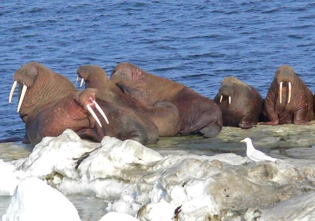 Walruses - image via pixnio.com