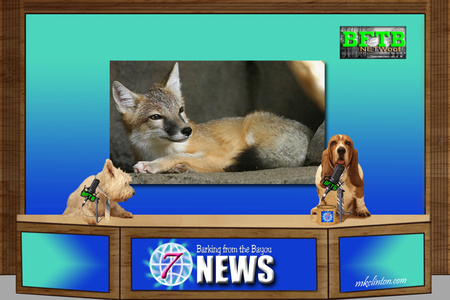 BFTB NETWoof News on fox stealing cat's bed