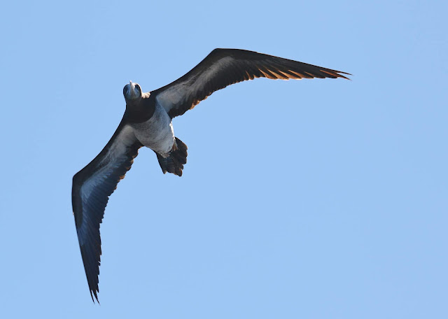 Brown Booby off San Diego