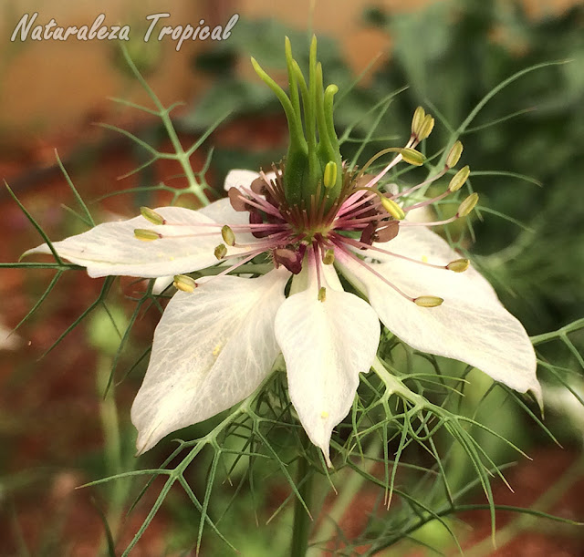 Flor blanca de la planta Arañuela, Nigella gallica