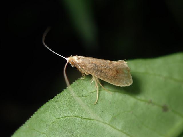 Nematopogon sp