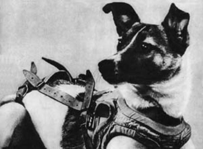 Cô chó Laika trở thành động vật đầu tiên bay vào quỹ đạo Trái Đất vào năm 1957. Hình ảnh này chụp lúc cô chó được thắt dây an toàn để chuẩn bị cho chuyến bay. Hình ảnh: Zarya.