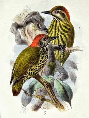Gabon Woodpecker