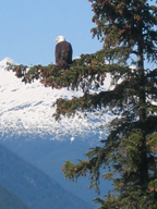 an eagle on Long Bay, Dyea AK
