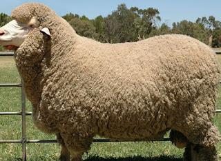 bibit domba merino jantan