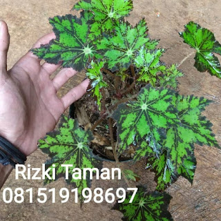 Bibit Begonia bintang / Green Star
