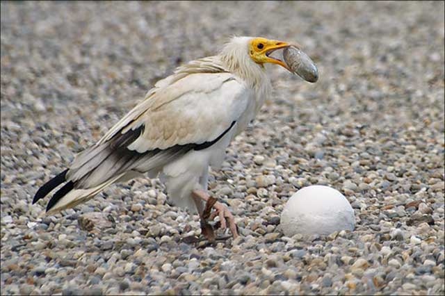 vultur Mesir