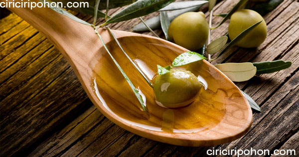 ciri ciri pohon buah zaitun