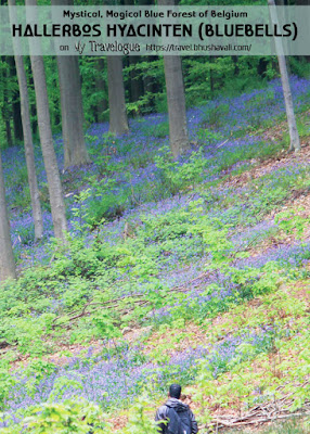 Hallerbos Bluebells Blue Carpet Forest Belgium Pinterest
