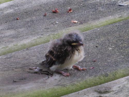 fledgling phoebe