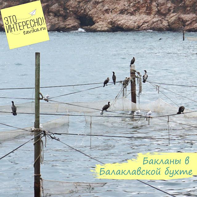 бакланы, Крым, Балаклава