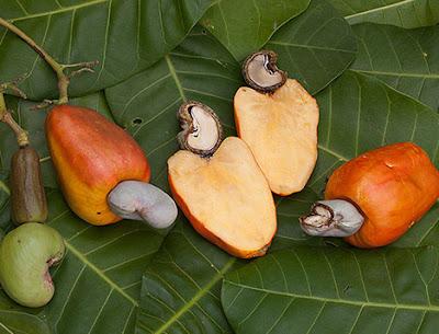 kaju kaju meyvesinin sapıdır, kaju meyvesi