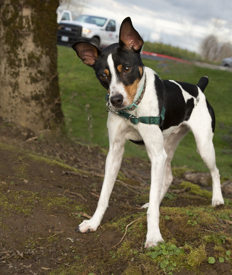 long legged terrier shelter dogs of portland quot mikey quot happy active big rat 3906