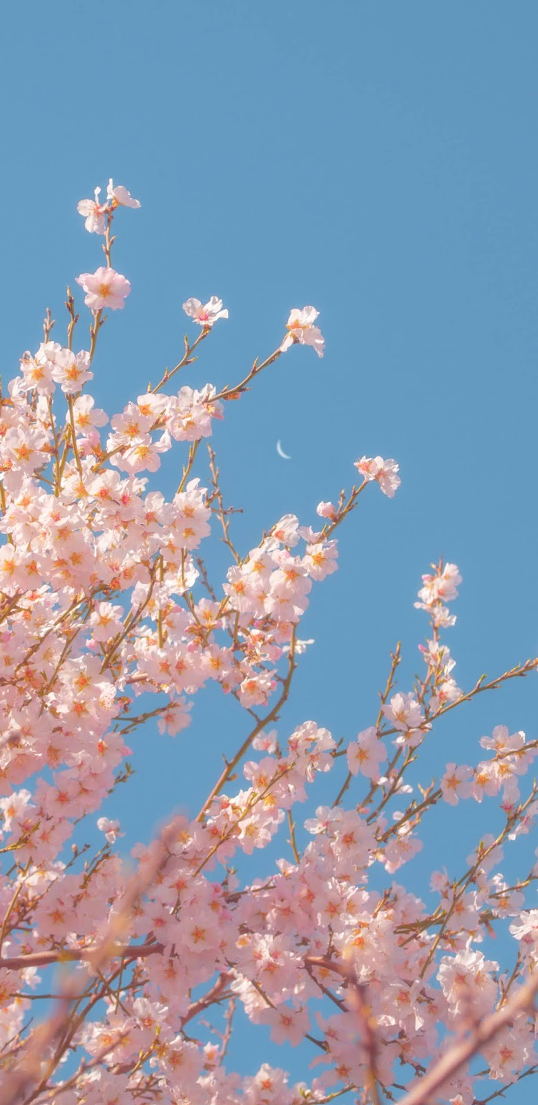 Sakura in the blue sky