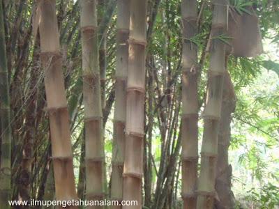 Bambu Betung