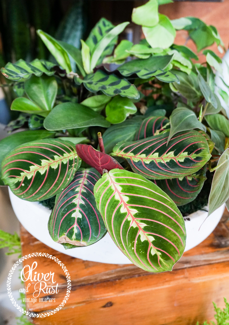 Oliver And Rust Plant Highlights Calathea Plant