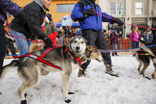 Iditarod Trail Sled Dog Race across Alaska 2016