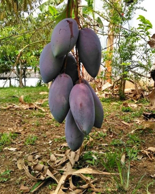 Bibit tanaman mangga red emperor VALID BELI 3 BONUS BIBIT ANGGUR Maluku