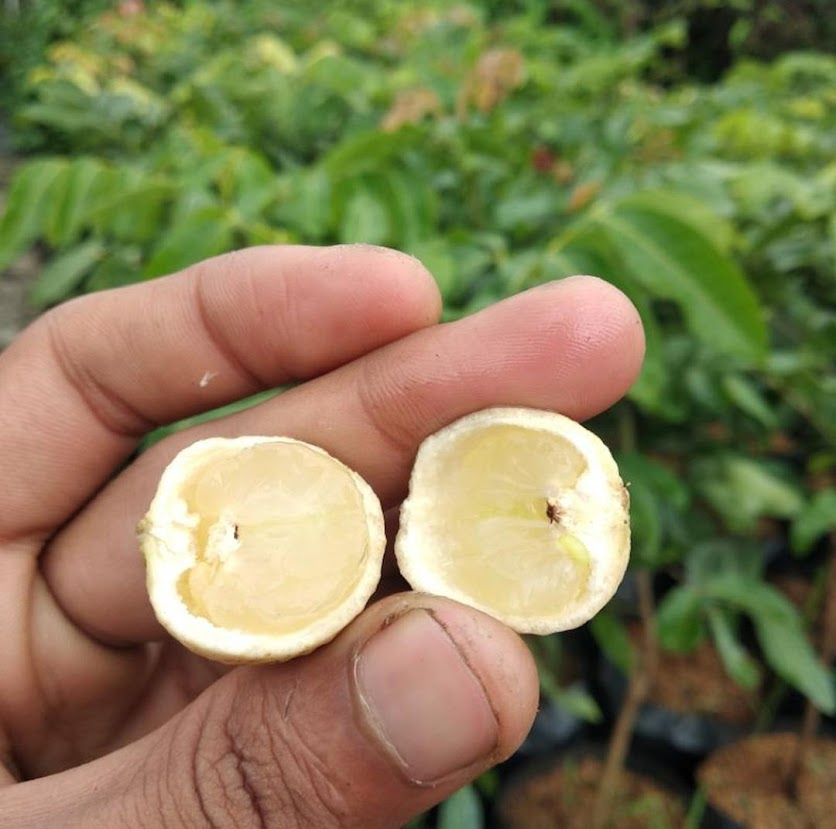 PAKET BIBIT TANAMAN BUAH KELENGKENG Merah Matalada Aroma durian TERBUKTI Super Genjah Bitung