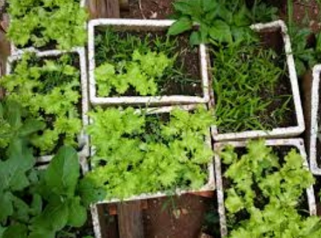 cara menanam sayuran organik