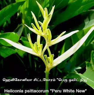 heliconia psittacorum peru white new.