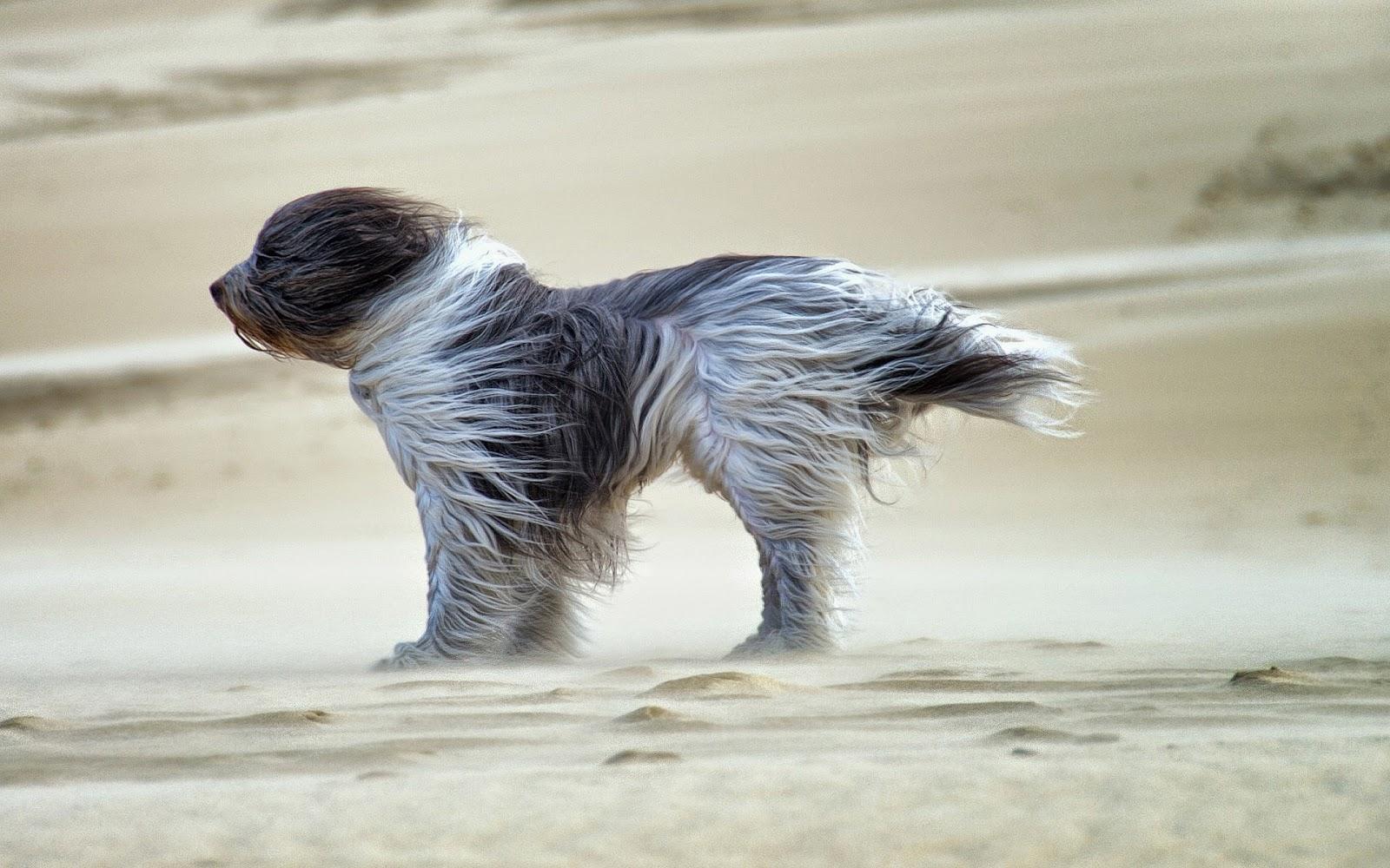 Hond op het strand met harde wind