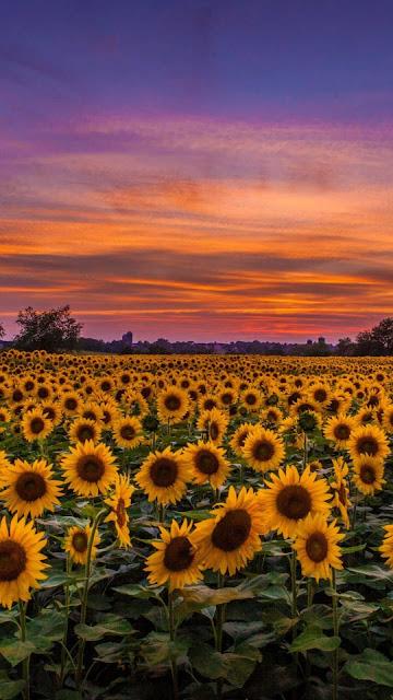 iphone sunflower wallpaper