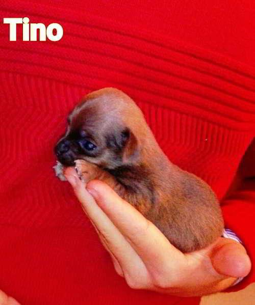 cachorros cruce chihuahua 2