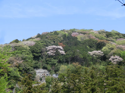 円覚寺の桜