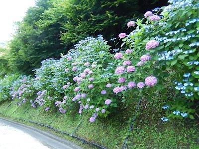 亀ヶ谷坂のアジサイ