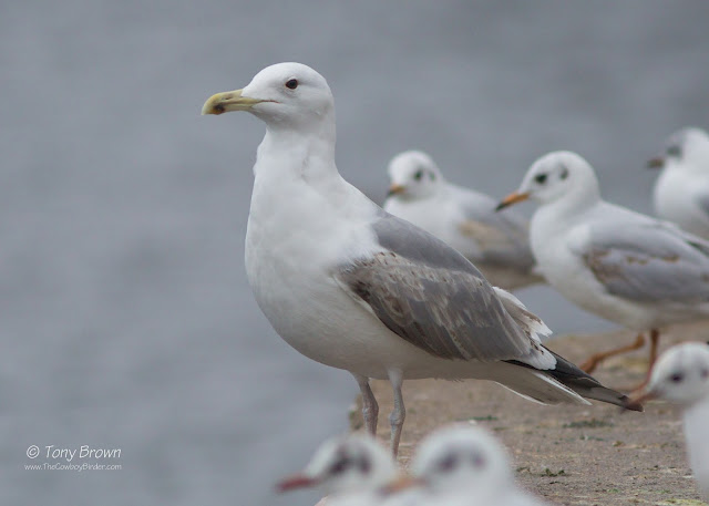 3rd-winter, Gulls, London