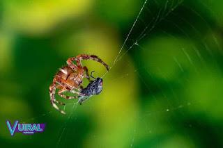 Contoh Hewan Invertebrata Laba-Laba