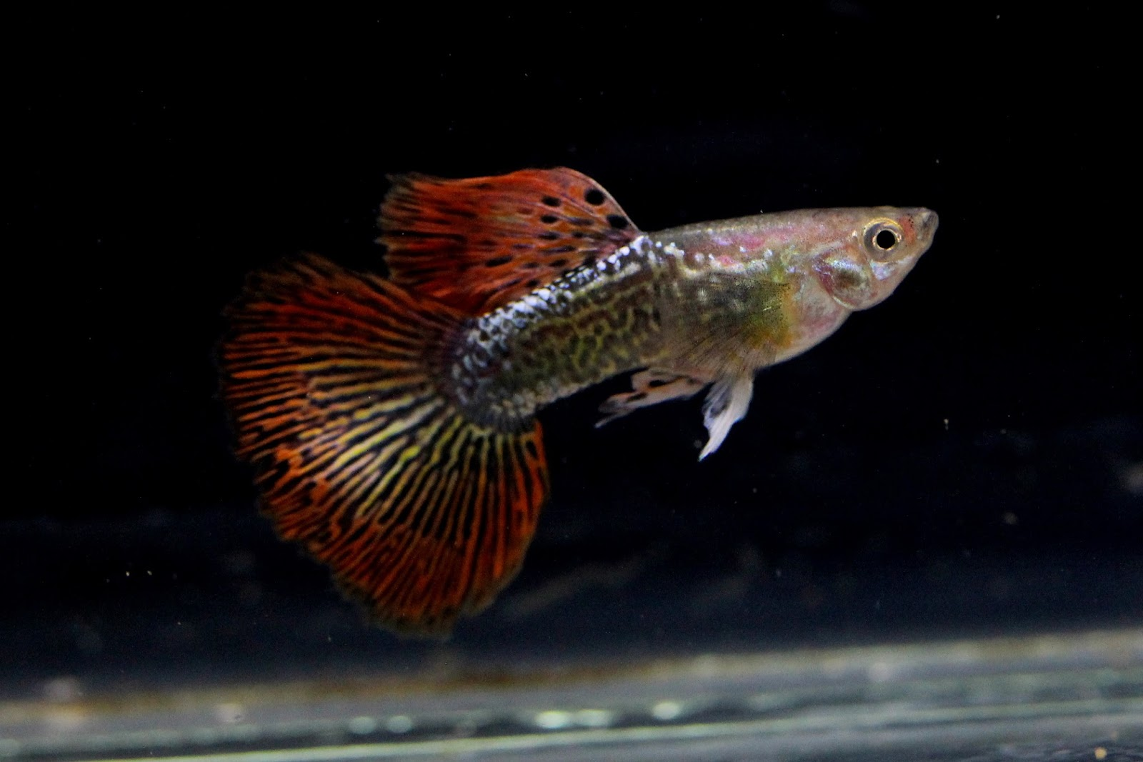 Guppy dragon big ear sale guppy fish indonesia for Dragon fish for sale
