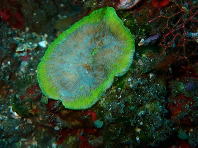 Echinophyllia sp