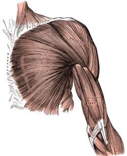 Dibujo de los músculos del brazo a color