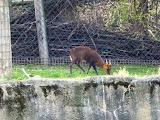 antilopa chinezeasca