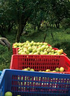 harga apel manalagi terbaru