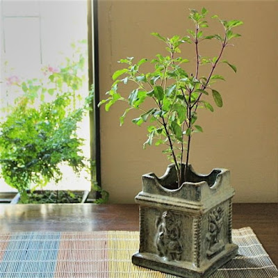 Tulsi Plant in Home