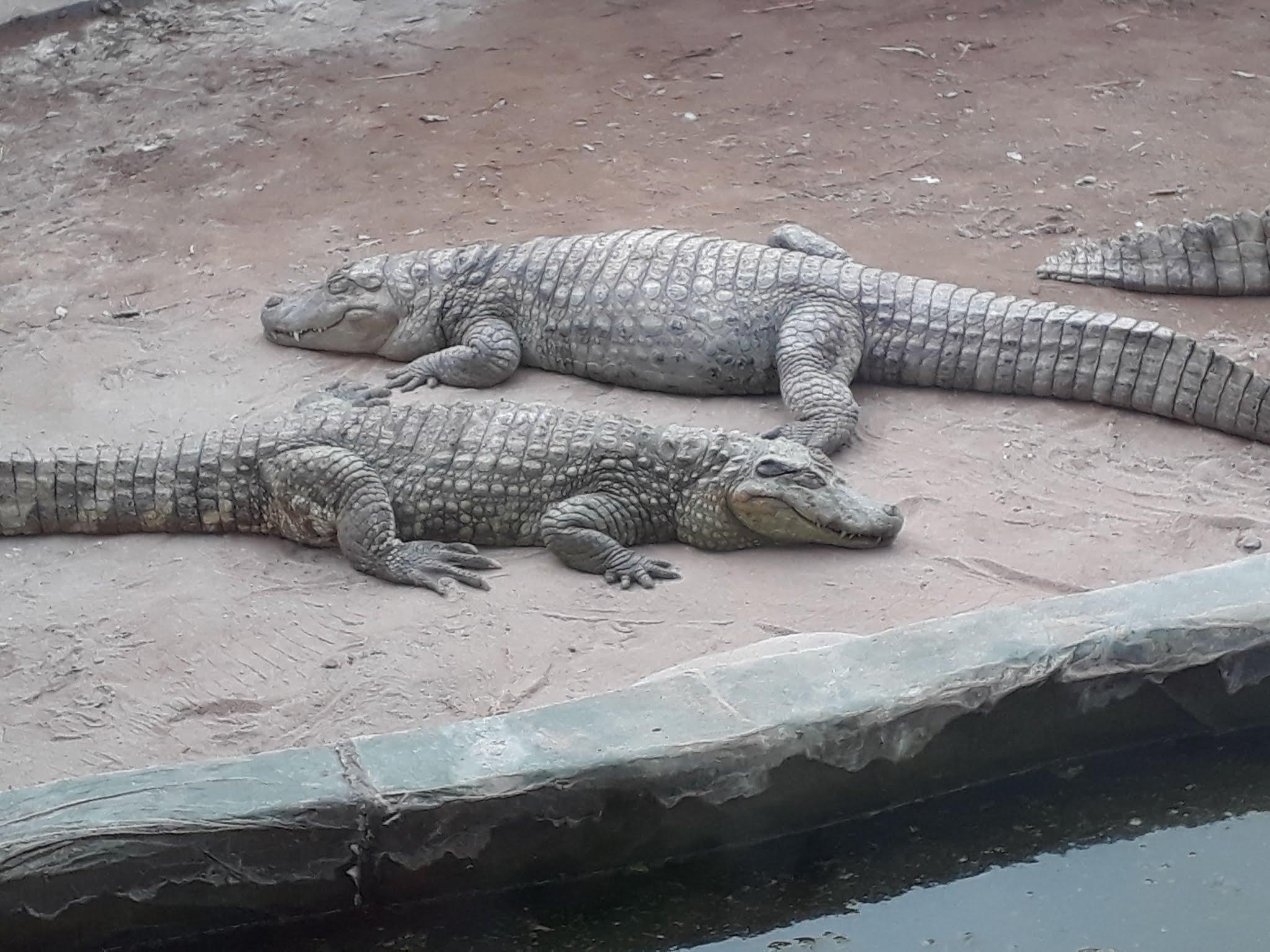 2 crocodilos dormindo