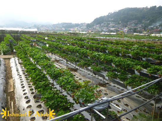 Baguio Getaway Spot: Strawberry Farm