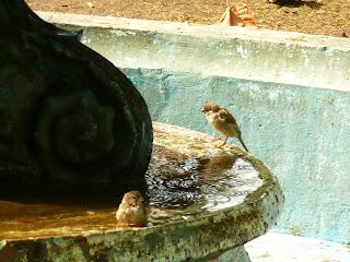 En una fuente dos gorriones comparten el agua.
