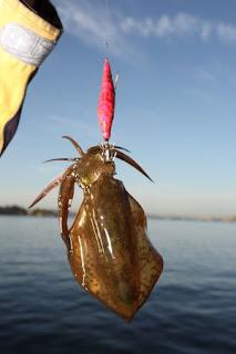 cumi merupakan hewan laut yang banyak juga disukai sebab memiliki kandungan protein dan j Nah ! Cara Mancing Cumi Yang Jitu Dan Populer