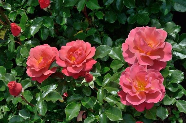 Melusina роза фото