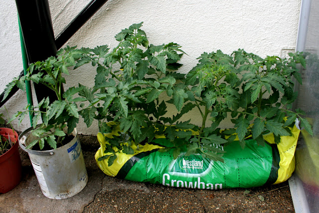 The Victory Garden - Alacante Tomato Plants Growing in a grow bag and paint Can