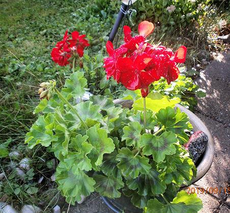 Pelargonia - perinteisen punainen - kesäisessä loistossaan.