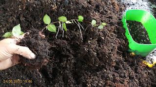 Một chậu có thể trồng cùng lúc 2-3 cây thằn lằn cẩm thạch