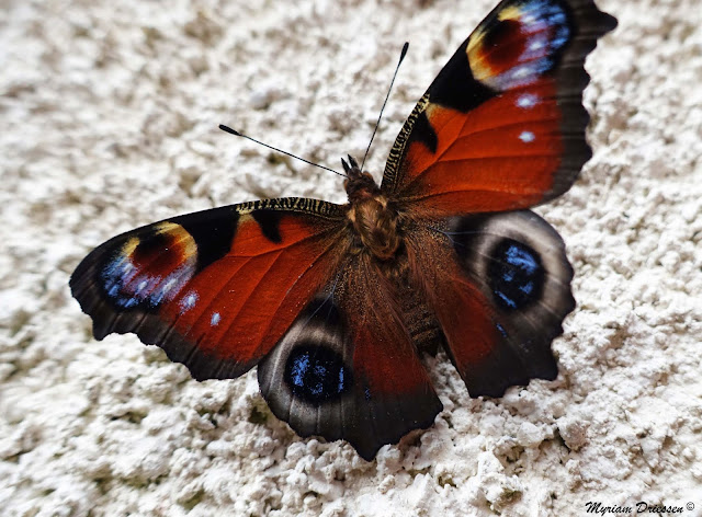 papillon paon de jour peacock butterfly