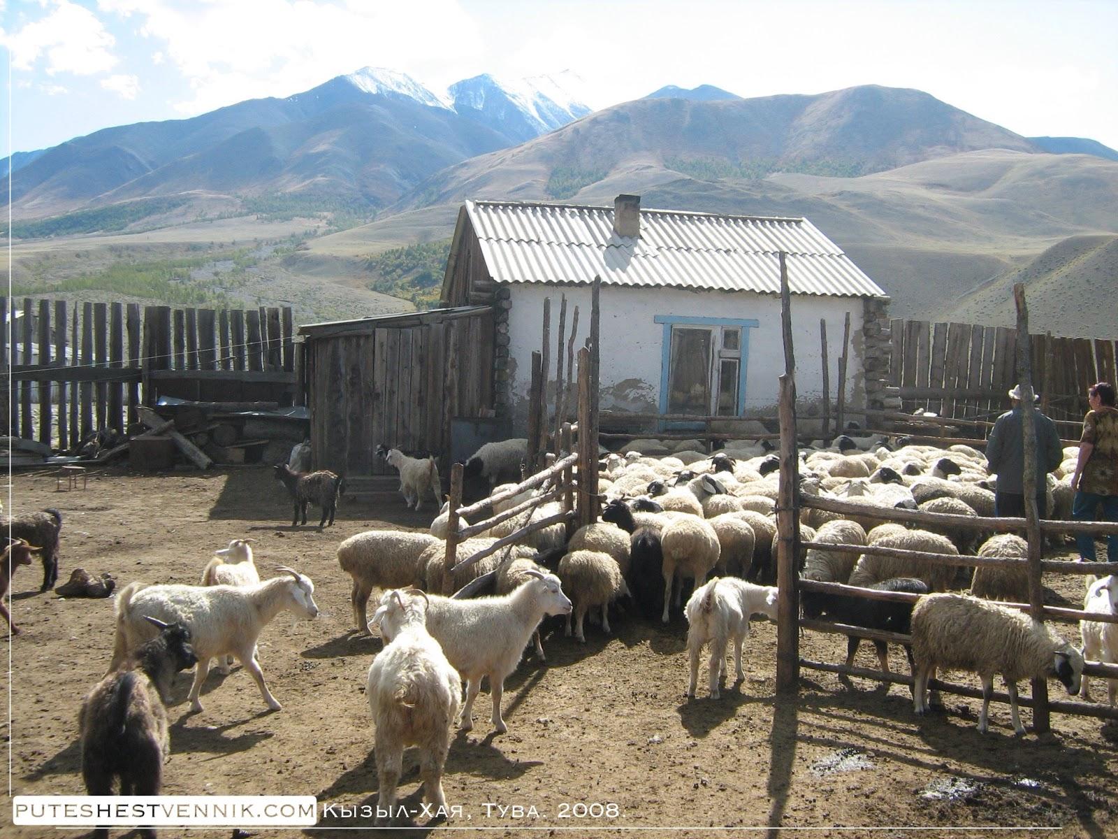 Козы во дворе и гора Монгун-Тайга