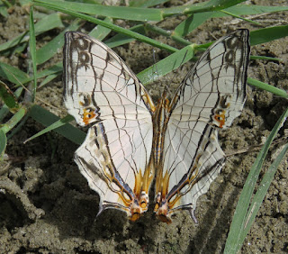 Cyrestis thyodamas, the Common Map Butterfly
